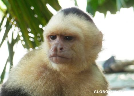 Manuel Antonio - Monkey Portrait