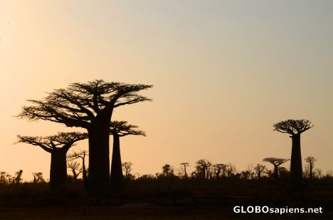 Morondava (MD) - silhouettes of baobab trees