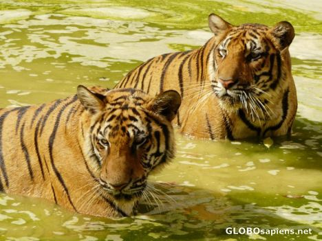 Tigers in Thailand.