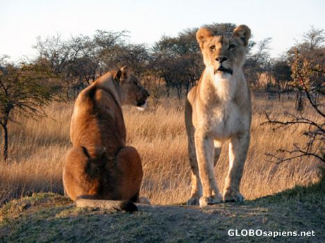 2 young lionesses.