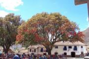 The 'flame tree'