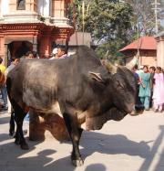 Brahma bulls & cows wander the streets amongst the people. Cows are sacred Hindu gods.