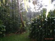 Tropical fruit orchard in a down pour !