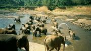 Pinnawela, elephant orphanage