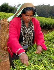 Nuwara Eliya - Tea Picker with wicker basker