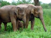 Uda Walawe National Park - elephants with calf