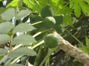 Pawpaws in a glasshouse