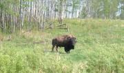 A bison grazing