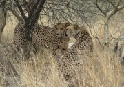 Cheetahs' affection