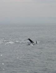 Killer-whales - just playing!