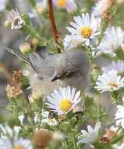 Bushtit bird on asters