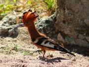 Upupa epops in Latin; hoopoe in English, in Polish - dudek.