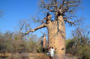 The 1700 years old baobab tree