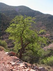 the Argan tree. Source of oil, nuts, and much much more!