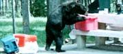 A Bear Having Lunch
