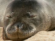 The Monk Seal