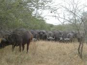 A wall of water buffalo
