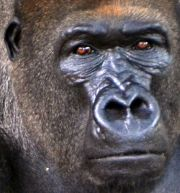 The lowland gorilla in Limbe