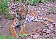Phet the rescued tiger.