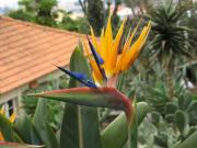 Bird of Paradise Flowers, Botanical Gardens