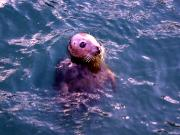 Seal pup in Howth