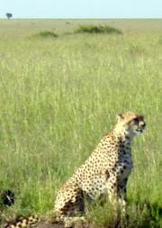 Cheetah - the fastest animal of all