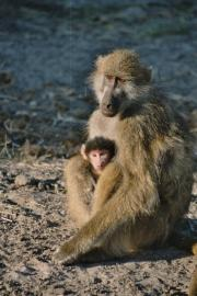 Mother baboon with her youngster