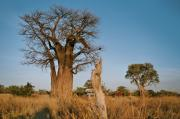 Our car near to a Beobab tree in the Chobe national Park, Savuti region