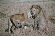 Lioness trying to get some consolation from a male after having been hurt in the hunt