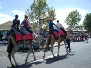camels at the queen victoria markets