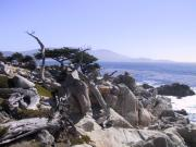 A nice look at the lone cypress behind the ghost trees, Pebble Beach