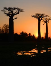 Baobabs and sunset