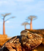 Chameleon at the Avenue des Baobabs