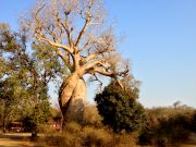 Baobabs In Love, the female is on the left