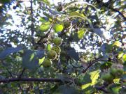 Wild apples from past Acadian communities