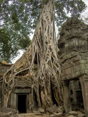 Tree roots on the Ta Phrom temple