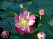 Despite natures disasters it still throws up its wonders - These Lotus flowers and buds at Krabi