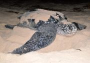 Exhausted giant leatherback sea turtle