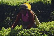 Picking tea on the hills of Nuwara Eliya