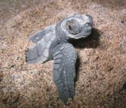 Baby Turtle upon release