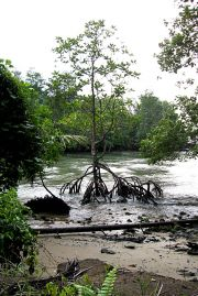 Mangrove Near the Mamam Beach Campground