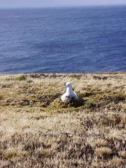 Black eyebrow baby albatross in the nest in Crozet Island