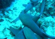 Nurse Sharks arrive after being