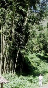 Giant bamboo plants
