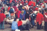 exotic Indian cattle market in Chimborazo, Ecuador