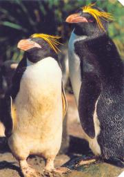 two macaroni penguin friends