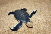 A baby turtle masking as 'zorro' *LOL*