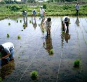 Planting rice with the locals.