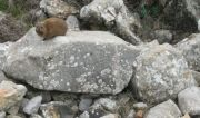 Syrian Rock Hyrax at Nimrod's Fortress