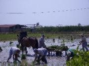 Planting rice the old way!